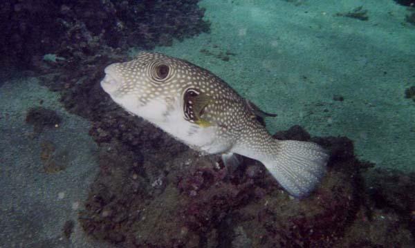 El pez globo